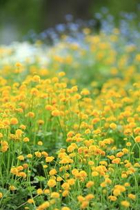 黄色い花達の写真素材 [FYI00142231]