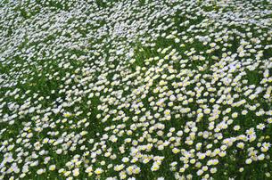 花のじゅうたんの写真素材 [FYI00142481]
