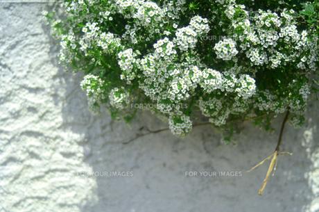 白壁と花の写真素材 [FYI00142488]
