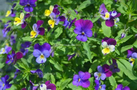 パンジーの花壇の写真素材 [FYI00142489]