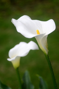 純白のカラーの写真素材 [FYI00142503]