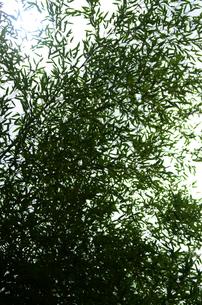 若竹の素材 [FYI00142560]