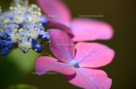 真紅の花の素材 [FYI00142574]