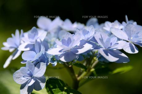 ライトブルーのアジサイの写真素材 [FYI00142579]