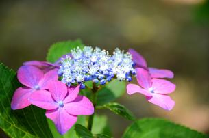 ピンクとブルーのコンビネーションの写真素材 [FYI00142581]