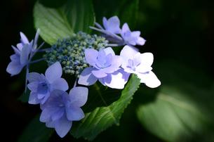 薄紫のアジサイの写真素材 [FYI00142585]