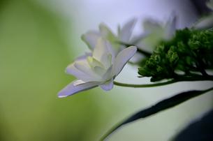 淡い光と白い花の写真素材 [FYI00142586]
