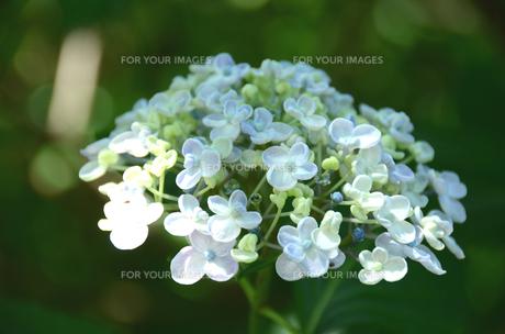 優美な白いアジサイの写真素材 [FYI00142602]