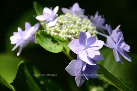 薄紫のアジサイの写真素材 [FYI00142605]