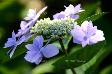薄紫のアジサイの写真素材 [FYI00142608]