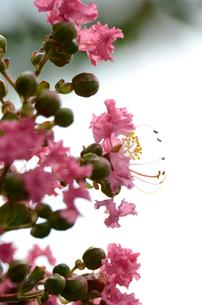 百日紅の花の写真素材 [FYI00142658]