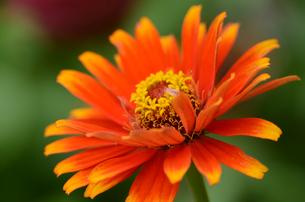 オレンジ色のダリアの写真素材 [FYI00142672]