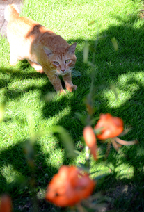オニユリとネコの写真素材 [FYI00142679]