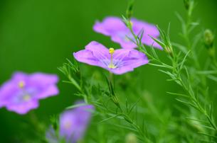 涼やかな夏の花の写真素材 [FYI00142680]