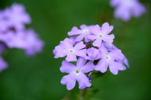 紫の小さな花の写真素材 [FYI00142682]