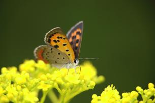 花を巡るシジミ蝶の写真素材 [FYI00142684]