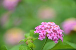 ランタナの花の写真素材 [FYI00142685]