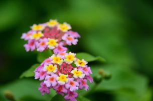 ランタナの花の写真素材 [FYI00142686]