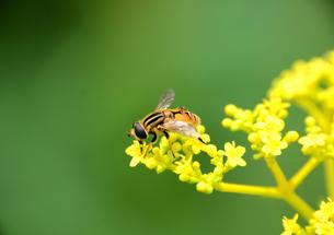 黄色い花とミツバチの写真素材 [FYI00142690]