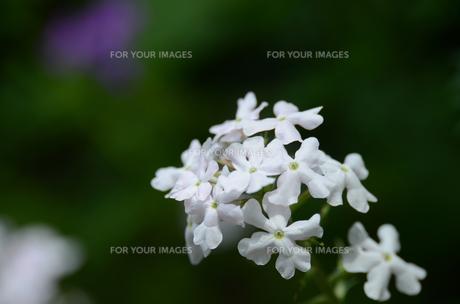 白い草花の素材 [FYI00142692]
