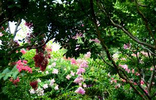 百日紅の庭の写真素材 [FYI00142718]