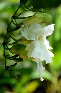 白い南国の花の写真素材 [FYI00142725]