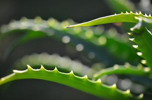 アロエの棘の写真素材 [FYI00142819]