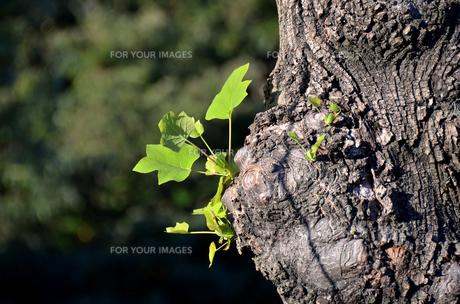 木の芽の写真素材 [FYI00142825]