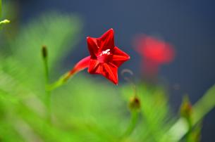 真紅の花の写真素材 [FYI00142839]