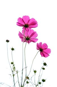 可憐な花の素材 [FYI00142854]