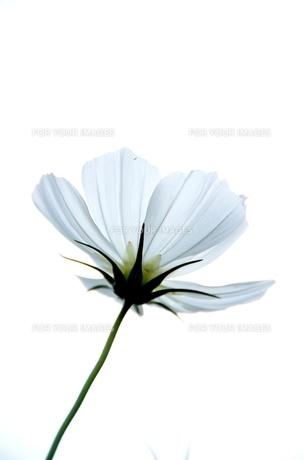 白い花の素材 [FYI00142864]