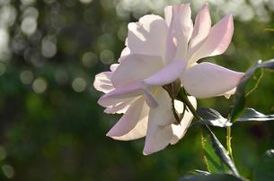 高貴な花の写真素材 [FYI00142868]