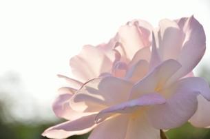秋の陽のバラの写真素材 [FYI00142873]