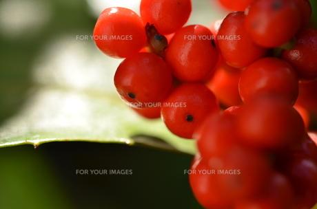 赤い実の写真素材 [FYI00142887]