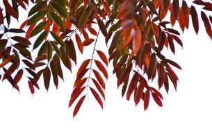 ハゼの木の素材 [FYI00142888]