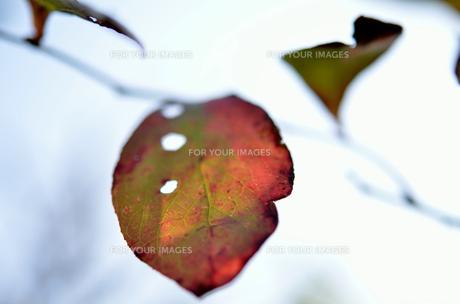 ブルーベリーの紅葉の素材 [FYI00142897]