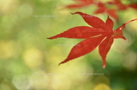 朱色の葉の写真素材 [FYI00142899]