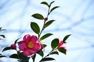 冬の花の写真素材 [FYI00142900]