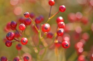 赤い実の写真素材 [FYI00142902]