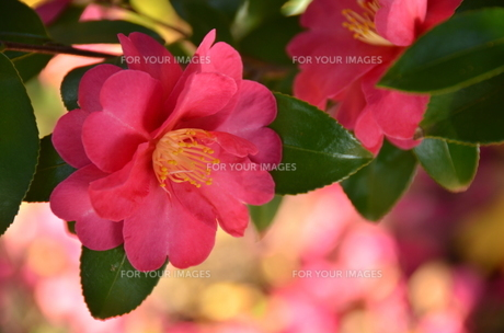 山茶花の写真素材 [FYI00142903]