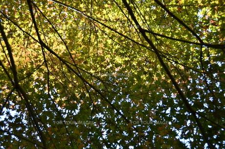 楓のスクリーンの写真素材 [FYI00142904]