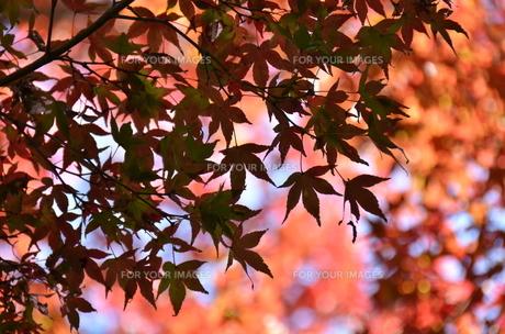紅葉の季節の写真素材 [FYI00142905]