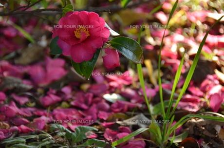 山茶花の庭の写真素材 [FYI00142908]
