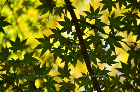 黄葉の写真素材 [FYI00142911]