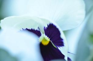 三色スミレの写真素材 [FYI00142918]