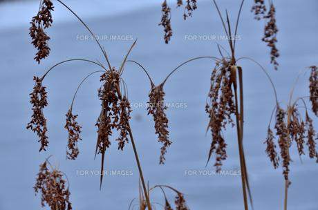 葦の穂の素材 [FYI00142921]