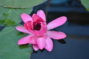 桃色の睡蓮の写真素材 [FYI00142926]
