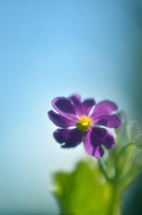 サクラソウと青空の写真素材 [FYI00142957]