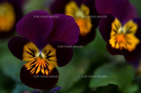 赤紫の花びらの写真素材 [FYI00142972]
