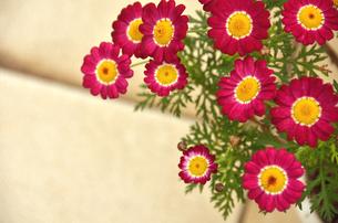 雛菊の写真素材 [FYI00142987]